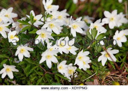 Wood anemone, Windflower, Thimbleweed or Smell fox (Anemone nemorosa), Allier, France, Europe - Stock Photo
