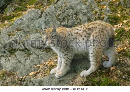 young lynx - standing / Lynx lynx - Stock Photo