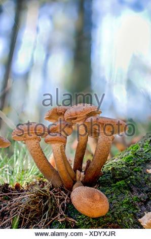 Hallimasch   (Armillaria mellea), Fruchtkoerper auf Waldboden, Seitenansicht, Deutschland   honey fungus (Armillaria mellea), fr - Stock Photo