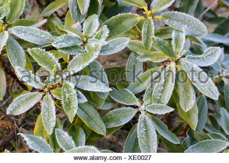 Rhododendron (Rhododendron spec.), Raureif auf Rhododendron, Deutschland | rhododendron (Rhododendron spec.), hoar frost on leav - Stock Photo