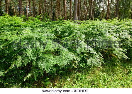 Bracken (Pteridium aquilinum), growing in abundance, Barnbruch nature reserve, Lower Saxony, Germany - Stock Photo