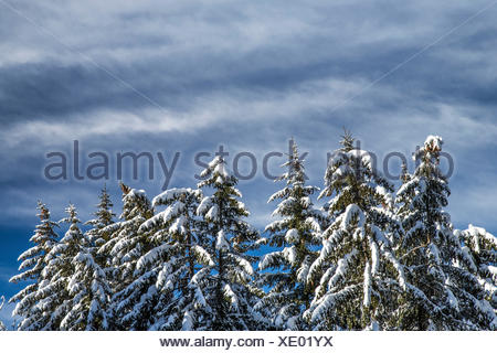 Snow covered trees under the cloudy winter sky Gerola Valley Valtellina Orobie Alps Lombardy Italy Europe - Stock Photo