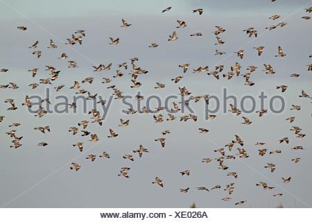 Wood Pigeon, Columba palumbus, winter flock in flight over cereal crop where feeding, Norfolk UK - Stock Photo