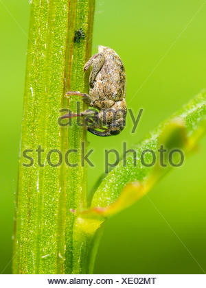 snout beetle (Microplontus campestris ), female after egg-laying on Ox-eye Daisy (Leucanthemum vulgare), Germany - Stock Photo