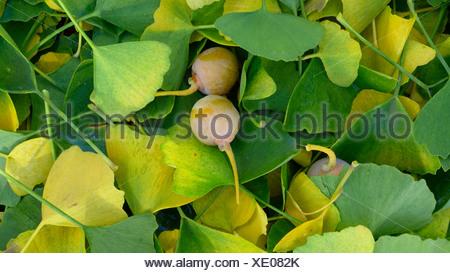maidenhair tree, Ginkgo Tree, Gingko Tree, Ginko Tree (Ginkgo biloba), leaves and fruits on the ground - Stock Photo