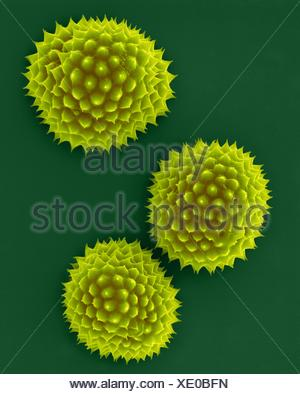 Ragweed pollen (Ambrosia psilostachya),coloured scanning electron micrograph (SEM).This pollen is allergen.Ragweed is main cause of weed allergies.Ragweed pollen is notorious for causing allergic reactions in humans,specifically allergic rhinitis.Up to half of all cases of pollen-related allergic - Stock Photo