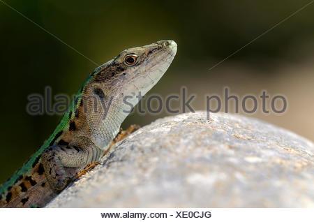 Italian wall lizard, ruin lizard, or İstanbul lizard (Podarcis sicula), male, macchia in Saint-Florent, Corsica, France, Europe - Stock Photo
