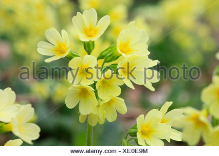 Flower, blossom, flourish, detail, cowslip, spring, macro, close-up, Primula veris, Switzerland, Europe, wood, forest, bright, c - Stock Photo