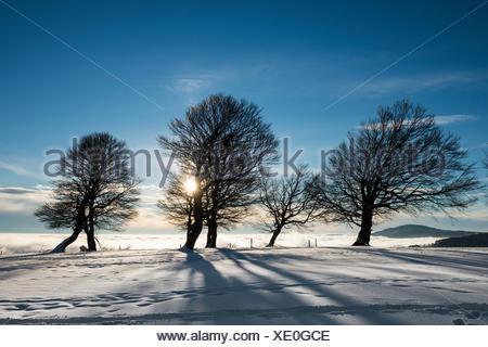 Wind-bent beeches at sunset in winter, Schauinsland, near Freiburg im Breisgau, Black Forest, Baden-Württemberg, Germany - Stock Photo