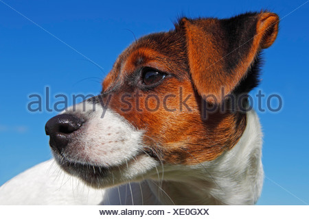 Young Jack Russell Terrier dog (Canis lupus familiaris), male puppy, 12 weeks, domestic dog, portrait - Stock Photo