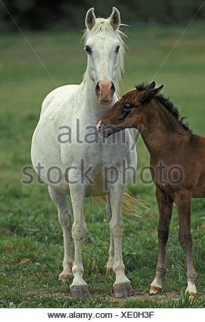 Lipizzan Horse, Mare and Foal - Stock Photo