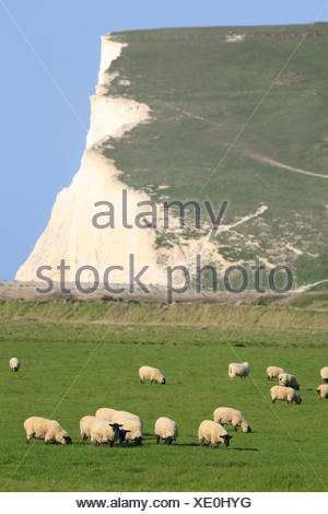 geography / travel, Great Britain, England, East Sussex, Seven Sisters Country Park, Cuckmere haven, sheep grazing in a field, white chalk cliffs overlooking the English Channel (La Manche), Additional-Rights-Clearance-Info-Not-Available - Stock Photo