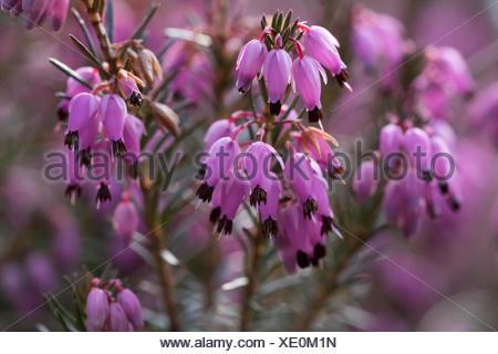 Winter heath (Erica carnea) flowers, Upper Bavaria, Bavaria, Germany - Stock Photo