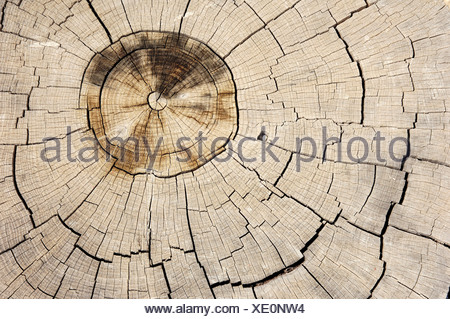 Mediterranean Cypress, Italian Cypress or Pencil Pine (Cupressus sempervirens), cross-section showing annual rings, Provence, S - Stock Photo