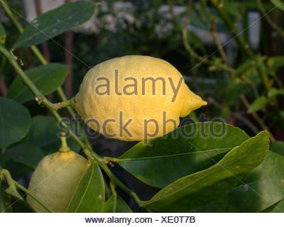 lemon (Citrus limon), lemon on a lemon tree - Stock Photo