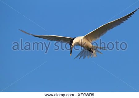sandwich tern (Sterna sandvicensis, Thalasseus sandvicensis), flying, USA, Florida - Stock Photo