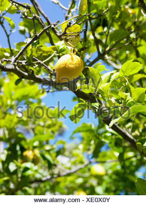 Lemon tree, close-up, South Africa. - Stock Photo