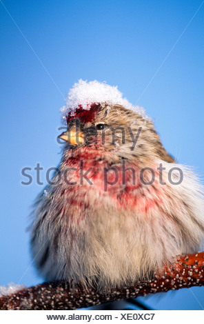 Alaska. Common redpoll (Carduelis flammea) in falling snow in winter. - Stock Photo