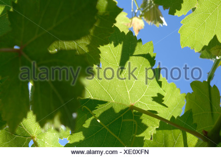 Shadow play on back lit vine leaves - Stock Photo