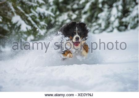 running Bernese Mountain Dog - Stock Photo