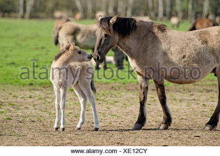 Wild horses in the Merfelder Bruch, Dülmen, Münsterland, North Rhine-Westphalia, Germany - Stock Photo