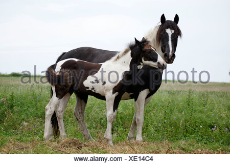 Pinto mare with foal - Stock Photo