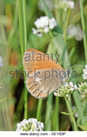 Chestnut Heath, Coenonympha glycerion on white flower  Milovice, Czech Republic - Stock Photo