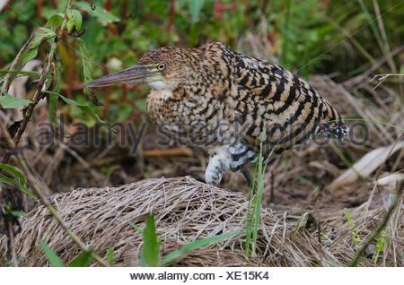 A juvenile rufescent tiger heron, Tigrisoma lineatum. - Stock Photo
