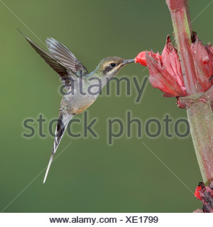 Green Hermit (Phaethornis guy) feeding at a flower while flying at the Wildsumaco reserve in eastern Ecuador. - Stock Photo