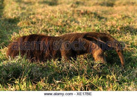 giant anteater (Myrmecophaga tridactyla), walking on grass, Brazil, Mato Grosso do Sul - Stock Photo