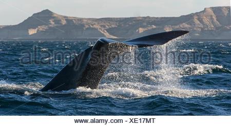 Southern Right Whale (Eubalaena australis) diving near the coast at Peninsula Valdes Argentina - Stock Photo