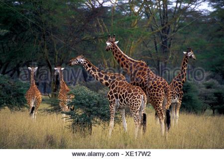 Group of Distinctive Rothschild Giraffes in Lake Nakuru National Park Kenya - Stock Photo