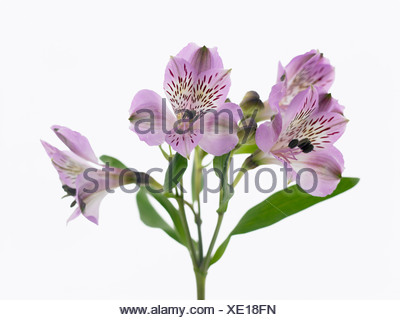 Alstroemeria cultivar, Peruvian lily. Purple flowers on a single stem against a white background. - Stock Photo