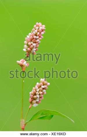 Ladysthumb North Rhine-Westphalia Germany / (Persicaria maculosa Polygonum persicaria Persicaria maculata) / Redshank Heartweed - Stock Photo