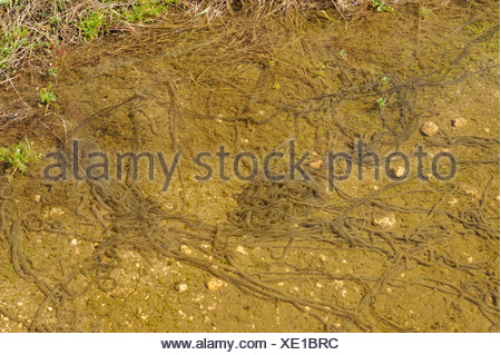 green toad or variegated toad (Bufo viridis, Bufo balearicus), strings of spawn, Italy, Sardegna - Stock Photo