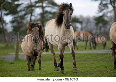 Wild horse Duelmen Duelmen, Nordrhein-Westfalen, Germany - Stock Photo