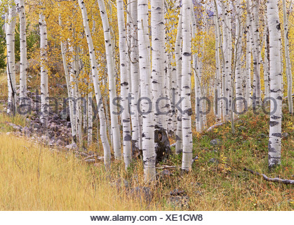 Aspen trees in autumn with white bark and yellow leaves. Yellow grasses of the understorey. Wasatch National forest in Utah. - Stock Photo