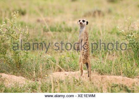 Meerkat (Suricata suricatta) standing on its hind legs keeping watch, South Africa - Stock Photo