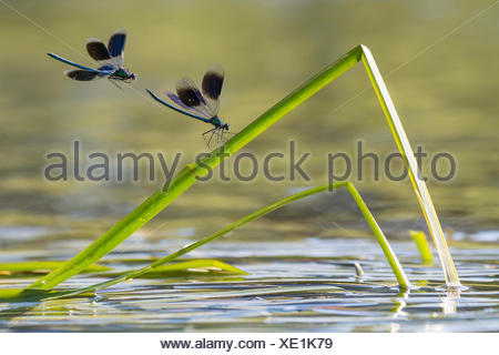 banded blackwings, banded agrion, banded demoiselle (Calopteryx splendens, Agrion splendens), two banded blackwings on buckled blade of reed, Germany, Lower Saxony - Stock Photo