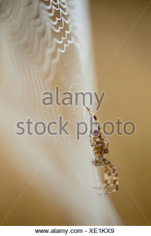 A side view of an Orb Weaver spider on its dew-covered web, Western Oregon, USA (Araneidae) - Stock Photo
