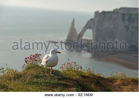 great black-backed gull with, in the background, chalk cliffs with arch and ´´l´Aiguille´´ (the Needle), Etretat, Seine-Maritime department, - Stock Photo