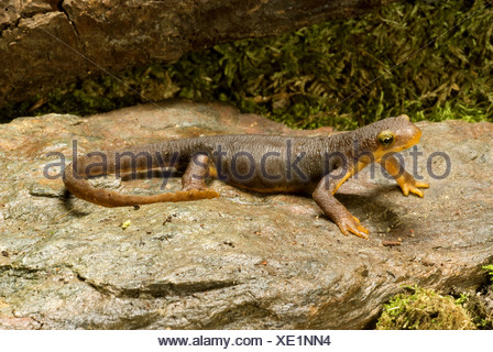 California newt (Taricha torosa), on a stone