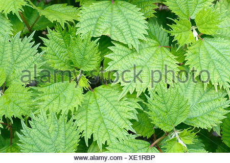 White ramie, Boehmeria, Boehmeria utilis, Beauty in Nature, Boehmeria nivea, China grass, Chinese silkplant, Colour, False nettle, Foliage, Growing, Herb, Outdoor, Perennial, Plant, Rhea, Rhizome, Green, - Stock Photo