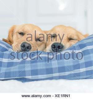 Two golden retriever dogs sleeping on a bed - Stock Photo
