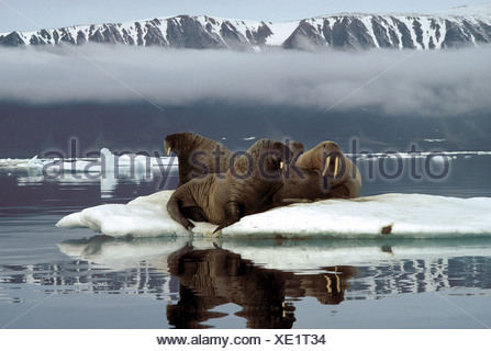 zoology / animals, mammal / mammalian, seals, walruses, polar walrus, (odobenus rosmarus), walruses, lying on rocks, Ellesmere I - Stock Photo