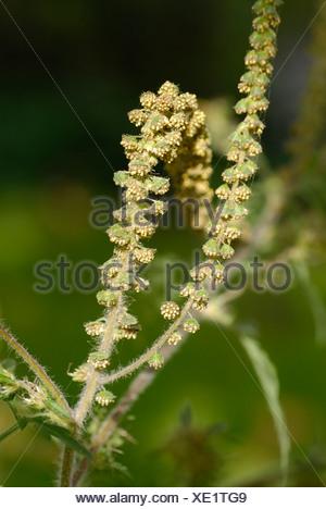 Common Ragweed, Ambrosia artemisiifolia - Stock Photo