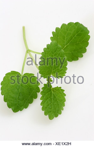 A cut out of a spring of lemon balm - Stock Photo