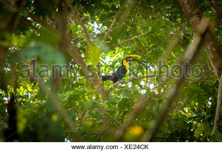 A toucan in a tree top. - Stock Photo