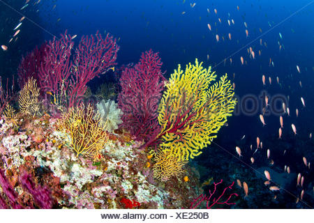 Variable Gorgonians in Coral Reef, Paramuricea clavata, Massa Lubrense, Campania, Italy - Stock Photo