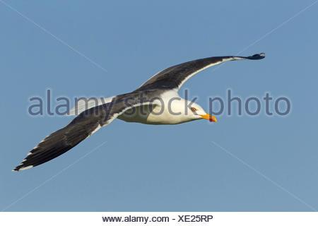 lesser black-backed gull (Larus fuscus), flying, Germany, Schleswig-Holstein, Heligoland - Stock Photo